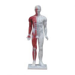 الوخز بالإبر الطب البشري نموذج (مع تشريح العضلات) 84 سم